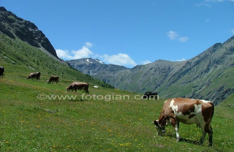 bardonecchia mucche